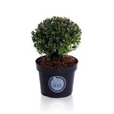Japanse Hulst in Bolvorm (Ilex crenata 'Dark Green' ) Planter Pots, Dark, School, Garden, Garten, Lawn And Garden, Outdoor, Tuin, Gardens