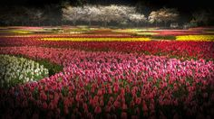 Tulips became a true status symbol and their price rised dramatically
