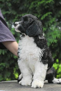I want this kind of dog so bad! Portuguese Water Dog Puppy, Irish Water Spaniel, Kinds Of Dogs, I Love Dogs, Dog Days, Dogs And Puppies, Cute Animals, Black And White, Pets