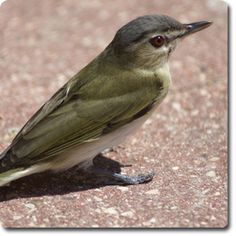 Red-eyed #Vireo – Weird & Fun #WildBird Facts from the Wild #Bird Directory –