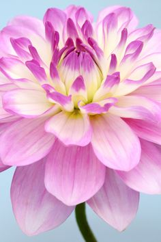 #Dahlia, 'Nepos' #fleurs
