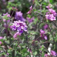 Lantana — Green Acres Nursery & Supply Flowers Perennials, Flower Pots, Plants, Lantana, Perennials, Trailing Flowers, Lantana Plant, Light Purple Flowers, Flower Seeds