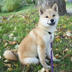 Life's a walk in the park - - . Japanese Dog Breeds, Japanese Dogs, Shiba Puppy, Shiba Inu, Doge, Husky, Cute Animals, Puppies, Nihon