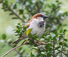 House Sparrow (male): 19 April 2015, Luria Park, Falls Church, VA, 2:30 p.m., party sunny, breezy, 65 degrees