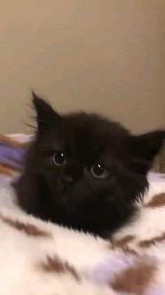 Funny Cute Cats, Cute Baby Cats, Cute Little Animals, Cute Cats And Kittens, Cute Funny Animals, Kittens Cutest, Black Kittens, Baby Animals Pictures, Cute Animal Photos