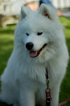 samoyed dog photo | Animals - Samoyed photos on Fotopedia - Images for Humanity