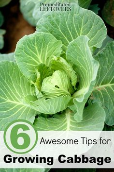 6 Awesome Tips for Growing Cabbage- Cabbage is a fairly easy vegetable to growing in your garden when you follow these 6 helpful gardening tips.