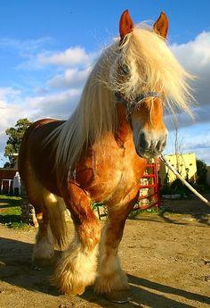 Draft horse.