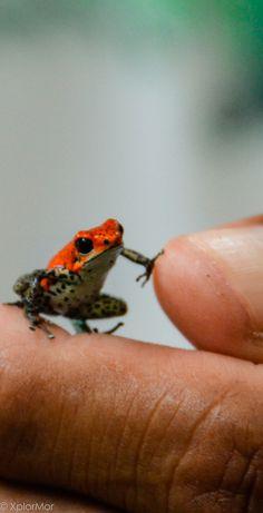 Red Poison Dart Frog. Darien Gap, Panama. #xplormor #dariengap #poisondartfrog