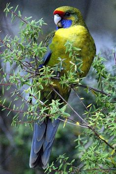 The Northern Rosella (Platycercus venustus), also known as Brown's Parakeet or Smutty Rosella, is found in Australia's Top End. Description from pinterest.com. I searched for this on bing.com/images
