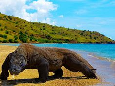 Komodo is one of the islands that compose the Republic of Indonesia. The island is particularly notable as the habitat of the Komodo dragon… Denpasar, Komodo National Park, National Parks, Timor Oriental, Large Lizards, Komodo Island, Reptiles And Amphibians, Mammals, All Gods Creatures