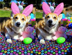 Somebunny is very happy to have found her first Easter treat! #AbbytheCorgi on her Rainbow paws park blanket #Corgis #PushPushi