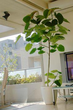 あのおしゃれ植物は何?「フィカス・ウンベラータ」はインテリア上級者御用達!