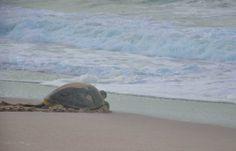 Sea turtle in Oman