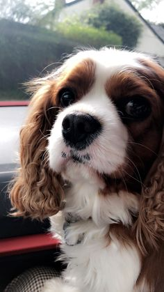My Cavalier King Charles Spaniel - 4 Years Old from Herefordshire King Charles Spaniel, Cavalier King Charles, Herefordshire, One Year Old, 4 Year Olds, Fur Babies, Cute Animals, Puppies, Spaniels