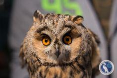 Hortobágyi Madárpark – Madárkórház Alapítvány » Hortobágyi Madárpark – Madárkórház Alapítvány » 2020 madara: az erdei fülesbagoly Animals, Wood, Animales, Animaux, Animal, Animais