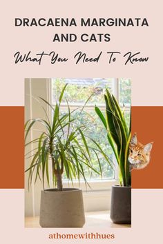 The Dracaena Marginata indoor plant and cats are not always a safe combination. If you are looking for house plants safe for cats, read this guide to discover everything you need to know. Houseplants Safe For Cats, Easy Care Indoor Plants, Dracaena Plant, Dragon Tree, Looking For Houses, Corn Plant, Banana Plants, Lucky Bamboo, Bamboo Plants