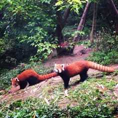 Chengdu Panda Base. Red pandas.