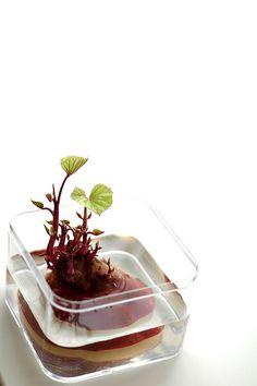 sweet potato plant - cute!