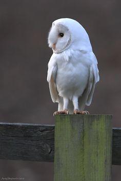 Barn Owl spirit