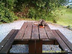 This is a video of a Pine Marten taken by Neil Burke at a holiday cottage on Scotland's Ardnamurchan Peninsula in June 2011. he'd been feeding jam butties but decided to try an egg. It worked! http://www.flyonthewall.uk.com/