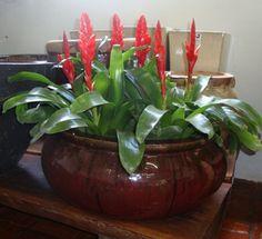 Plantas ideais para ambientes internos. Bromélias: existem diversas espécies. Gostam de água moderada e luz indireta. Aqui estão em um lindo vaso vietnamita.
