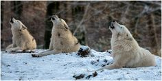 Wolf Song -- Amazing Pic  <3