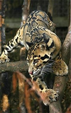 """Clouded leopard ~ Miks' Pics """"Animals l"""" board @ http://www.pinterest.com/msmgish/animals-l/ These are beautiful looking animals but they can be savages in a mating. We lost a beautiful female at the zoo because of this. Needless yo stay he was in solitary after that."""