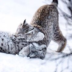 How are you spending your winter break? These cats are playing in the snow. Check out the Wild Wire Blog and see the Top 10 Animals Enjoying Winter Break! #winterfun #cuteness #cats #lynx Animal Protection, Winter Fun, Happy Holidays, Shelter, Lion Sculpture, Snow, Statue, Cats, Check