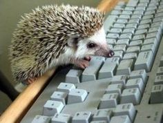 hedgehogs like pinterest, too!