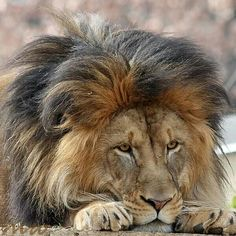 This African Male Lion Has an Intent Look on His Face; he's Paying Close Attention to Something, Most Likely a Small Varmint. (Photo by FriendFrog). Lion Pictures, Animal Pictures, Beautiful Cats, Animals Beautiful, Big Cats, Cats And Kittens, Animals And Pets, Cute Animals, Gato Grande
