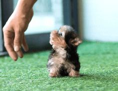 Yorkies Puppy List, Terrier Mix Dogs, Yorkies, Backyard Landscaping, Puppies, Animals, Backyard Landscape Design, Cubs, Animales