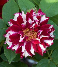 Hybrid Perpetual Rose: Rosa 'Roger Lambelin' (discovered in France, 1890)