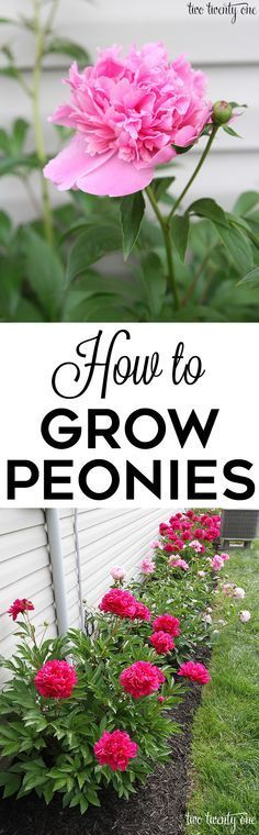 GREAT tips on how to grow peonies! More