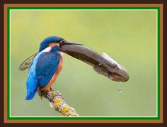 Very interesting post: 21 Funny Animals Pictures.сom lot of interesting things on Funny Animals. Common Kingfisher, Kingfisher Bird, Animals And Pets, Funny Animals, Cute Animals, Nature Animals, Weird Pictures, Funny Animal Pictures, Missouri Birds