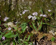 Spring Beauty now blooming in Indiana forests Spring Wildflowers, Early Spring, Forests, Wild Flowers, Indiana, Bloom, Plants, Beauty, Beginning Of Spring
