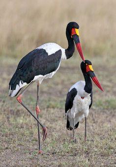 Saddlebill Storks beautiful amazing
