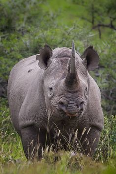 Black rhino - Despite their name, black rhinos and white rhinos are the same color – brownish gray.