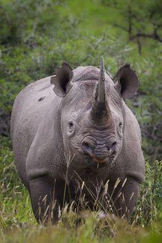 Black rhino - Despite their name, black rhinos and white rhinos are the same color – brownish gray.