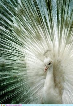 """The white Peacock.peacocks are native to India but are found world wide. Males are called """" peacocks """" & females are called """" peahens """" Pretty Birds, Love Birds, Beautiful Birds, Animals Beautiful, Cute Animals, Exotic Birds, Colorful Birds, Mon Zoo, Albino Peacock"""
