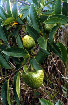 Custard apple growing in the park - Everglades National Park, Florida River Of Grass, Marjory Stoneman Douglas, Photo Exhibit, Everglades National Park, Fruit Trees, Custard, National Parks, Florida, Apple
