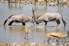 В центре, сцепившись рогами Капсике ориксы, Национальный парк Намибии Этоша Рога ориксов самые длинные среди всех видов антилоп. Этих рогов опасаются самые опасные хищники и редко нападают на взрослых особей. Кроме того, спасаясь от погони ориксы могут развивать скорость до 70 км/час, то есть бегут быстрее самой лучшей лошади. При этом сохраняя высокую скорость достаточно длительное время, уходя от погони на большое расстояние.