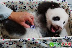 Stop, it tickles! Zookeepers say Yuanzai wiggles around during health checks.
