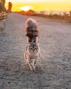 Reinhardt and his floofy tail. He is a Siberian forest cat. Cool Cats, I Love Cats, Crazy Cats, Cute Kittens, Cats And Kittens, Siamese Cats, Kitty Cats, Siberian Forest Cat, Siberian Cat