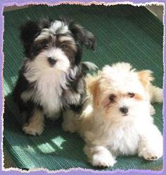 Havanese puppies - NO better small dog breed, period.