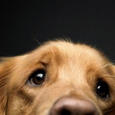 Golden Retrievers are one of the most honest dog breeds you'll ever encounter. They're very friendly, loving, intelligent, and are a fabulous pet. Cute Puppies, Cute Dogs, Dogs And Puppies, Funny Dogs, Animals And Pets, Baby Animals, Cute Animals, Funny Animals, Cocker