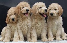 Aren't these labradoodles the cutest thing you've ever seen? I want one!!