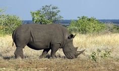 A lone white rhino enjoys the sweet new grasses after the first rains ...