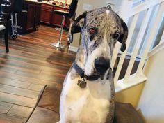 Great Dane Dogs, Mantle, Horses, Mantles, Cape, Horse, Cloak