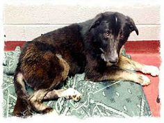 Urgent overcrowded kill shelter This boy very scared Atlanta, GA - Collie Mix. Meet ZEKE a Dog for Adoption.